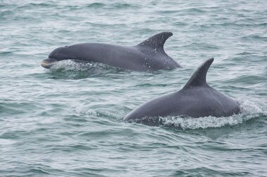 SPP Dolphin fins at sea