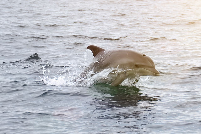 SPP Dolphins Swimming Fast