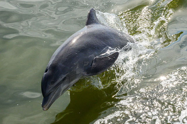 SPP Dolphins Jumping Up