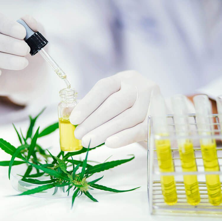 Scientist in laboratory testing CBD oil extracted from a marijuana plant